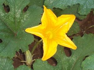 blossom,