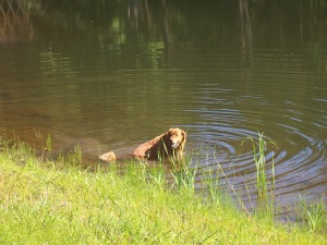 Duke, our Golden, takes a dip in the pond on the way to the woods.