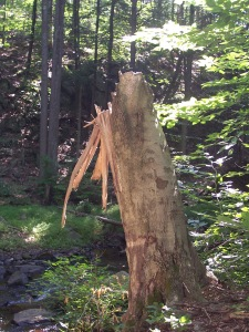 Evidence of damage to a tree from previous storms . . .