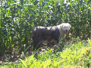 "Our ""older"" Old English Sheepdog, Eddie, makes it as far as the cornfield and decides he's had enough exercise.  He heads back home to wait for us in the shade of the Maple trees."
