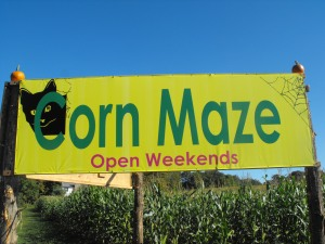 The opening of the corn maze . . .