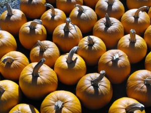 Sugar pumpkins for pies