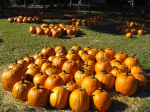 More pumpkins . . .