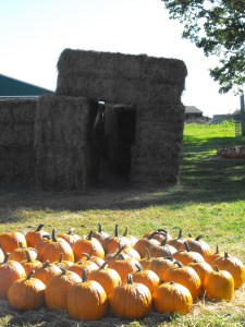 More pumpkins and the hay maze